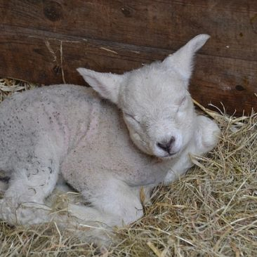 Baby lamb on a bed of straw